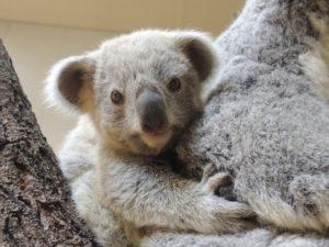お母さんに抱き着くコアラ