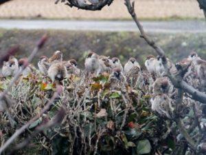 枝にとまる雀