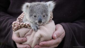 くるまれるコアラの赤ちゃん