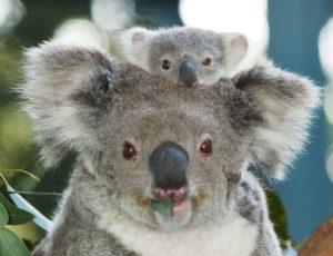 親の頭から顔を出すコアラの子供