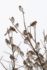 木の枝に集まる雀
