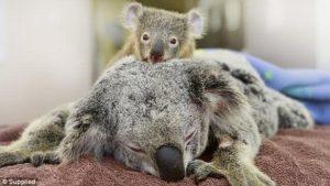 眠る親の上にいる赤ちゃんコアラ