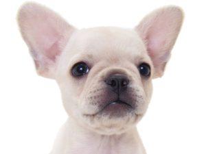 耳の大きいフレンチブルドッグ