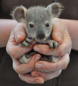 手のひらサイズのコアラ