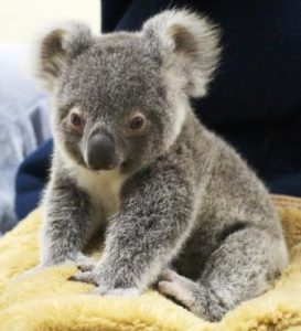おすわりするコアラの赤ちゃん