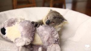 ぬいぐるみと赤ちゃんコアラ