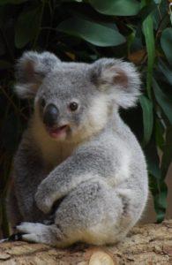 お座りしてどこかを見るコアラ