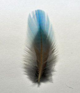 カワセミの羽根